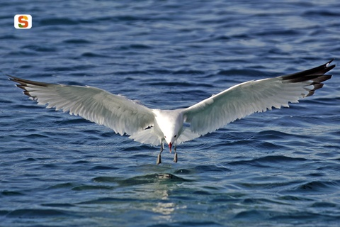 Gabbiano vola su Asinara
