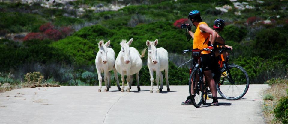 Asinelli bianchi dell'Asinara